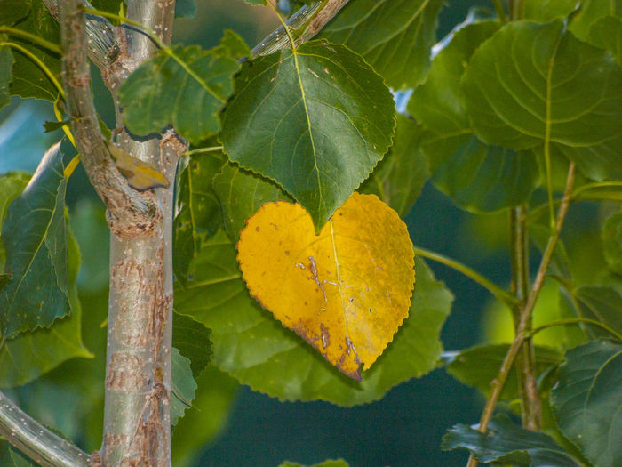 Autumn Autumn Colors Autumn Leaves Love Nature Otoño Romantic Tree Yellow Leaves Beauty In Nature Close-up Day Environment Forest Heart Heart Shape Heart ❤ In Love Leaf Nature No People Outdoors Poplar Populus Yellow The Week On EyeEm Paint The Town Yellow