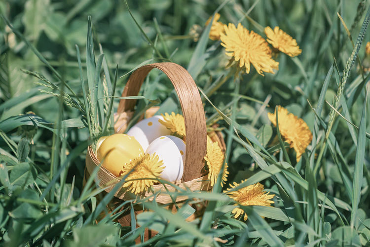 Coloful decorative Easter eggs in a miniature rustic wooden basket, yellow dandelions blooming meadow in spring outdoor Plant Flowering Plant Nature Day Growth Green Color Flower No People Close-up Freshness Fragility Yellow Flower Head Easter Eggs Miniature Rustic Wooden Basket Dandelion Meadow Springtime Spring Sunny