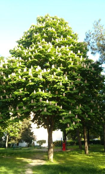 The Horse Chestnut Trees in Bloom Plants Park Nature Trees Spring Bloom Blooming Chestnut Trees Chestnut Flowers Background Horse Chestnut Flowers Horse Chestnut Trees Sky Green Color EyeEmNewHere