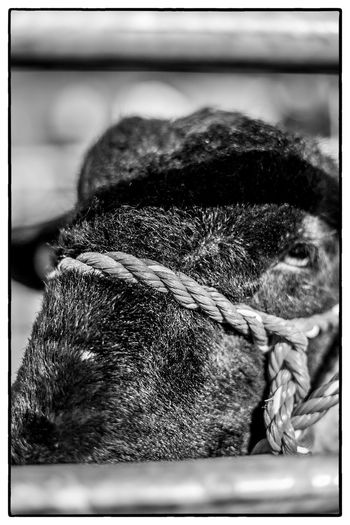 An agricultural show in Swinford, Ireland Agriculture Ireland Animal Head  Blackandwhite Close-up Domestic Animals Mammal Nature One Animal