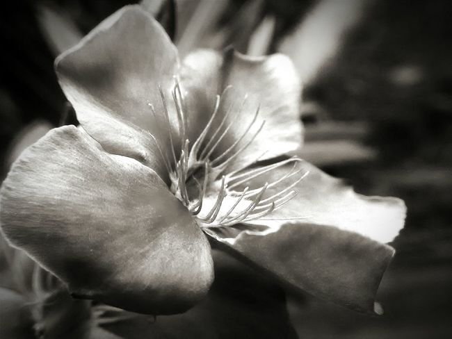 """""""Pale Blossom"""" Macro Bnw Bnw_collection Bnw_life Flower Collection All_bnwshots Bnwphotography Tvr430"""