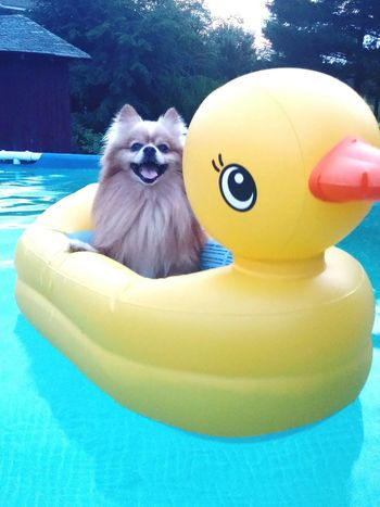 Dogstagram Dogoftheday Swimming Funny Dog Funny Stuff Dogsofinstagram Check This Out My Dog Is Cooler Than Your Kid. Rubberduck