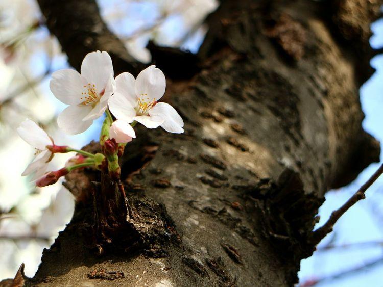 EyeEmbestshots Enjoying Life Bestphotos EyeEmBestPics EyeEm Best Shots Cherry Blossoms Flower Seoul_korea Cherry Blossom Koreacherryblossom