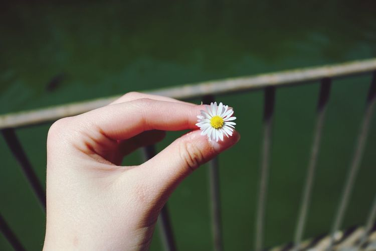 Cropped Hand Holding Flower By Railing