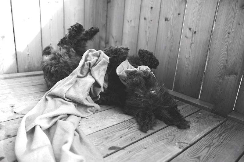 Hairy puppy playing with textile on wooden floor