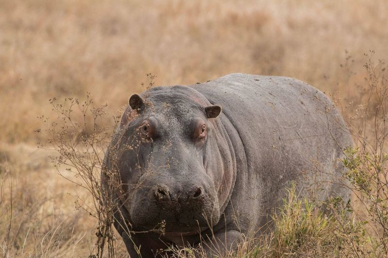 Close-Up Of Hippopotamus By Plants At Forest