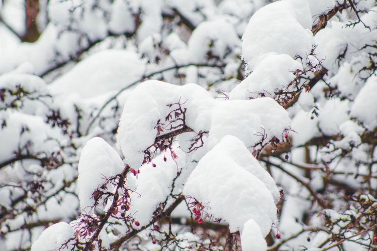 Close-up of snow covered cherry blossom tree