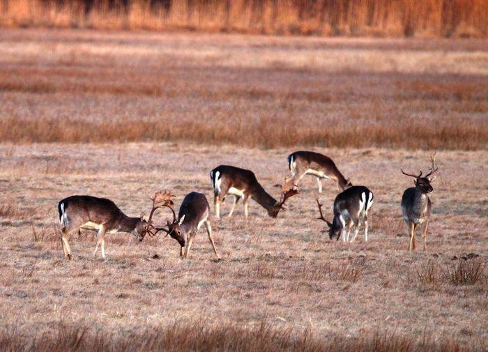 Antelopes on field