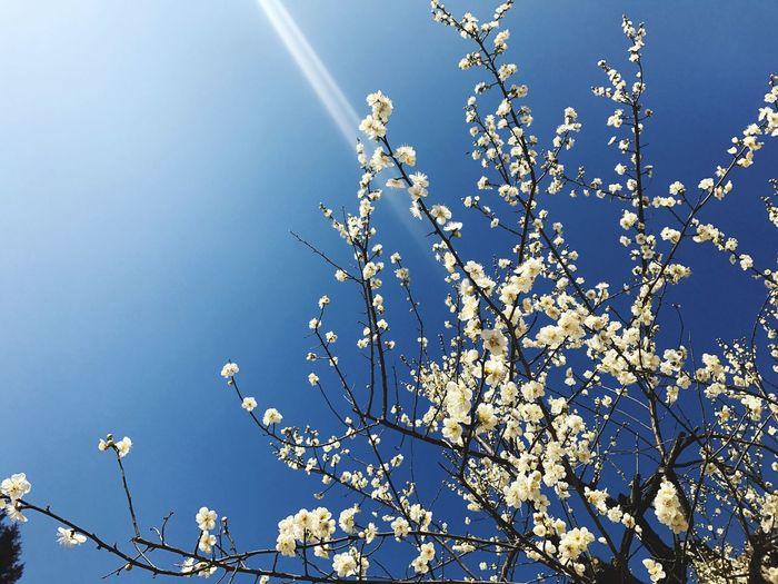 Japanese apricot flower Nature Flower Tree Blossom Springtime