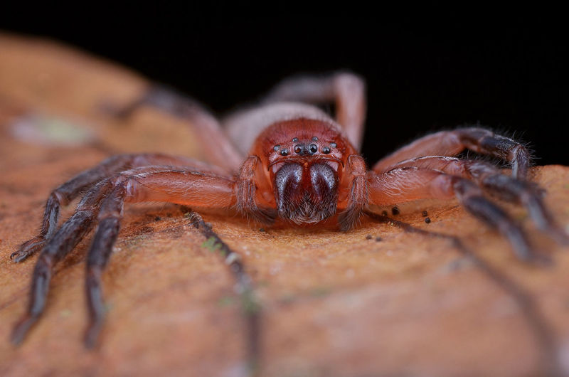 Huntsman spider 8 Legs Animal Wildlife Close-up Creepy Huntsman Insect Mandible One Animal Outdoors Pider Scary