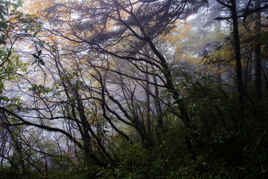 Leaves of some trees in a jungle turning yellow in fog. Autumn Autumn Colors Autumn Leaves Colors Silhouette Beauty In Nature Branch Change Foggy Forest Growth Leaves Mist Nature Scenics Season  Tranquility Tree Trunks