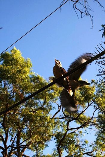 Hawkesbury River Hawkesbury Nsw NSW Australia Kookaburra Kooka