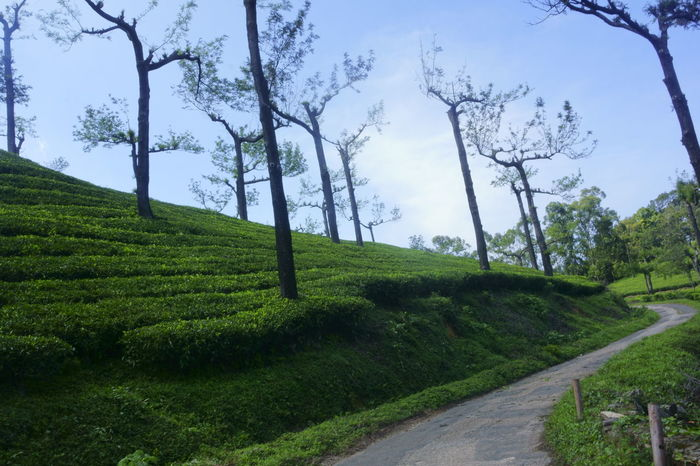 Tea plantations at western ghats Agriculture Beauty In Nature Cloud - Sky Day Field Forest Grass Green Color Growth Landscape Mountain Nature Nature No People Outdoors Road Rural Scene Scenics Sky Symmetrical Tea Tranquility Travel Tree Tree