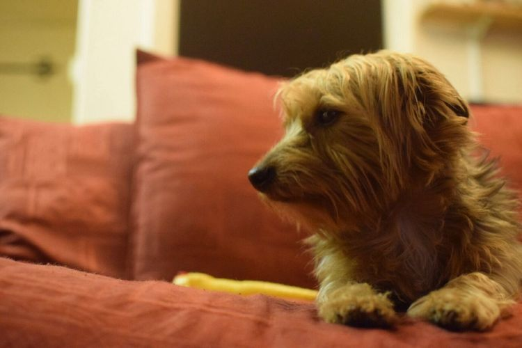It's a love my pooch moment..not matter what he's there. Yorkie Yorkie ♥ Bestmates Animal Themes One Animal Pets Domestic Animals Dog Mammal Indoors  Home Interior No People Close-up Day