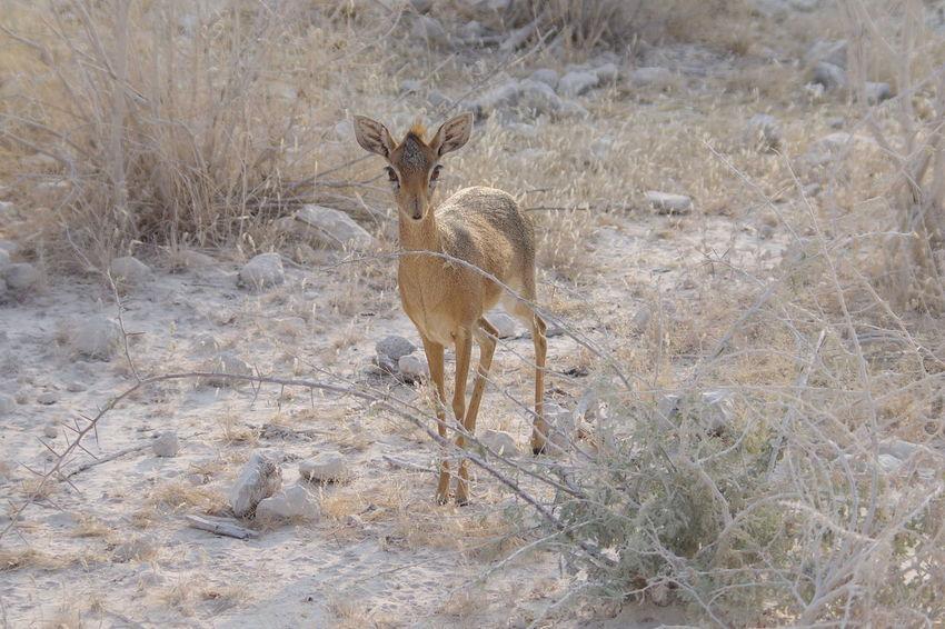 kirik dikdik Afrika Namibia Namibia Landscape Namibia Desert Etosha National Park Etosha Wildlife Safari Animals Animal Themes