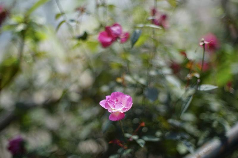 Rose flower Sunlight Travel Photography Backgrounds Bokeh Flower Rose - Flower Roses🌹 Summer