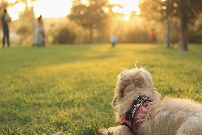 Dog Domestic Animals Animal Themes Field Focus On Foreground Outdoors Nature Pets Park Beauty In Nature Sunset October Doglife Grass Tree People Tranquility Peace End Of The Day Animals