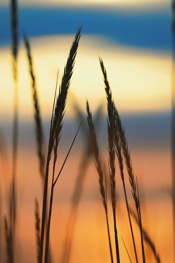 Close-up of crops on field against sunset sky