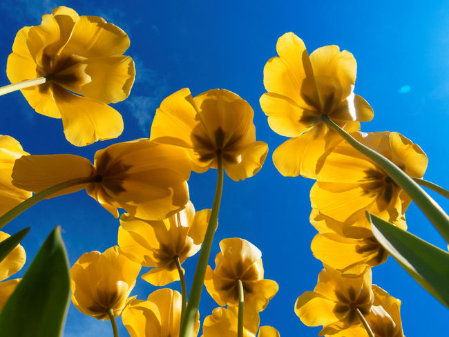Beauty In Nature Claudetheen Close-up Flower Spring Spring Flowers Springtime Tulip Tulips Yellow Yellow Flower