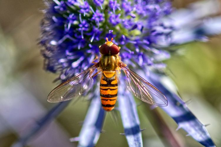 Close-up of hoverfly on blue flower