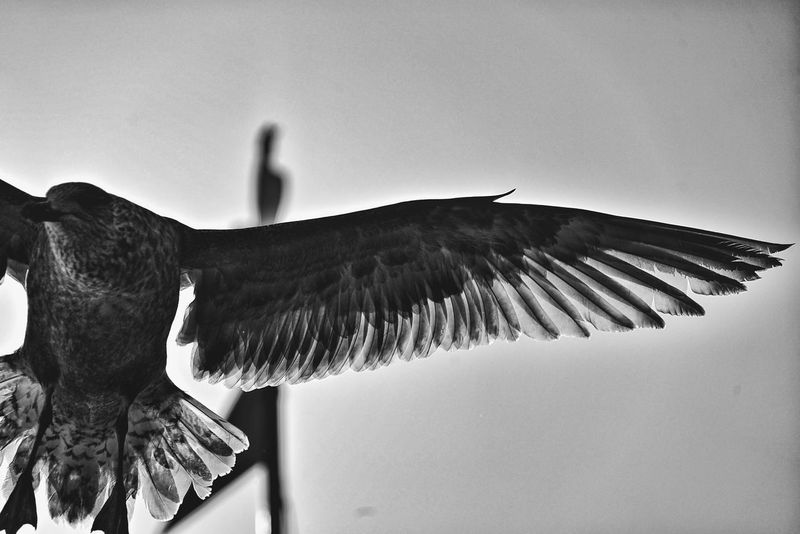 Japan Photos Bird Gull Wing Feather  Flying Bird Bnw Blackandwhite Travel From My Point Of View Taking Photos On The Boat Toya Lake Boat Ride Lake Nature Spread Wings Portrait Flying Q Ultimate Japan Nature's Diversities Light And Shadow Monochrome Photography Streamzoofamily