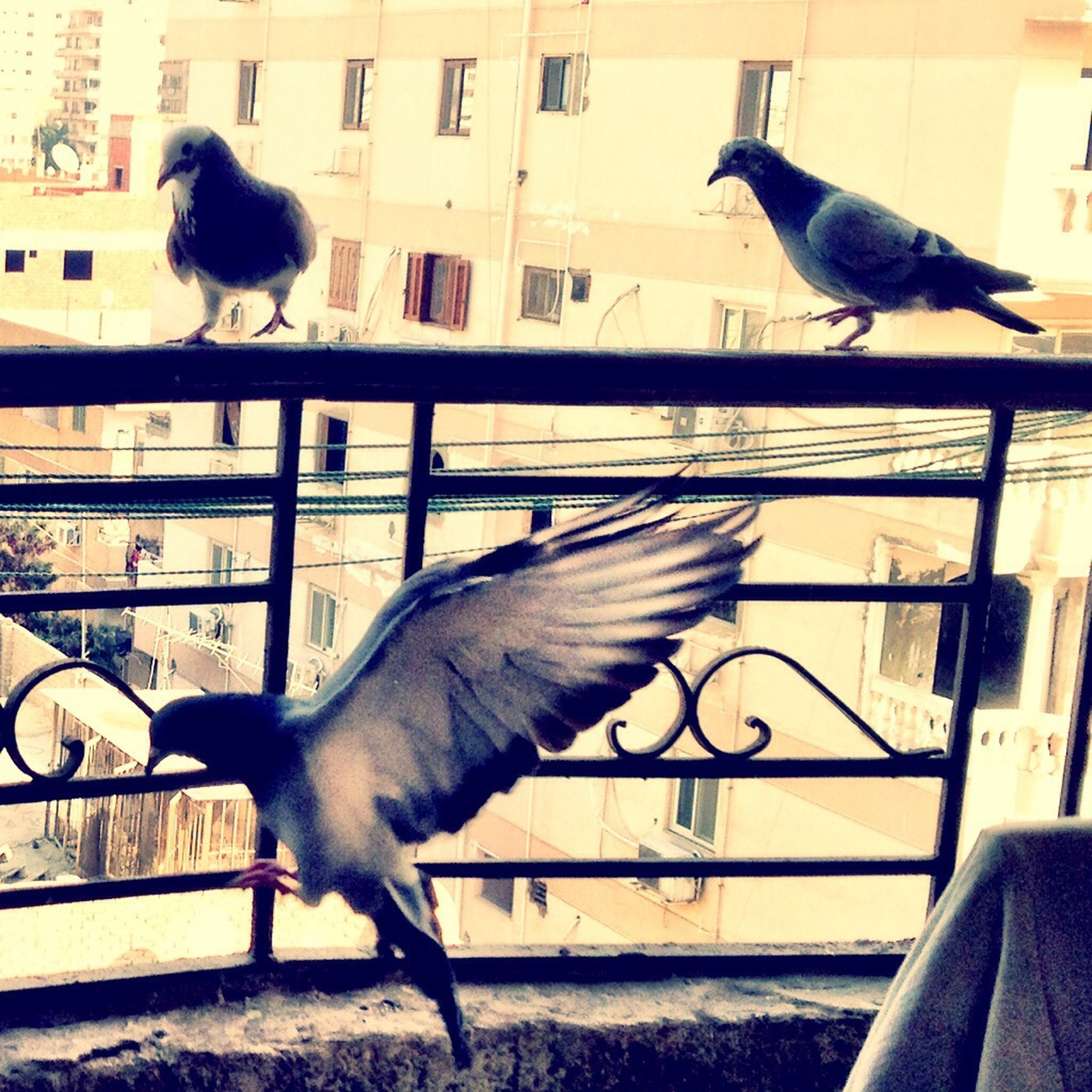 bird, animal themes, animals in the wild, wildlife, pigeon, perching, railing, one animal, flying, built structure, building exterior, architecture, seagull, two animals, spread wings, city, full length, three animals, zoology, outdoors