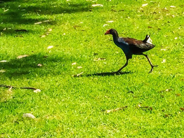 Purple Swamphen Purple Swamphen Wildlife Bird Swamp Birds Wetland Bird Wetland Swamphen Blue Red Black Large Birds Australian Wildlife Australian Bird Grass Wildlife Photography Wildlife & Nature Waterbird Unique Bird