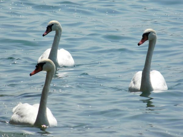 Animal Themes Animals In The Wild Bird Water Wildlife White Color Nature Swan Summer Animals In The Wild Italy Italia River Lago Di Garda