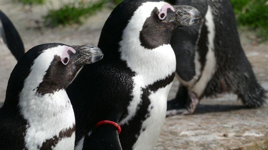 An african penguin looking away