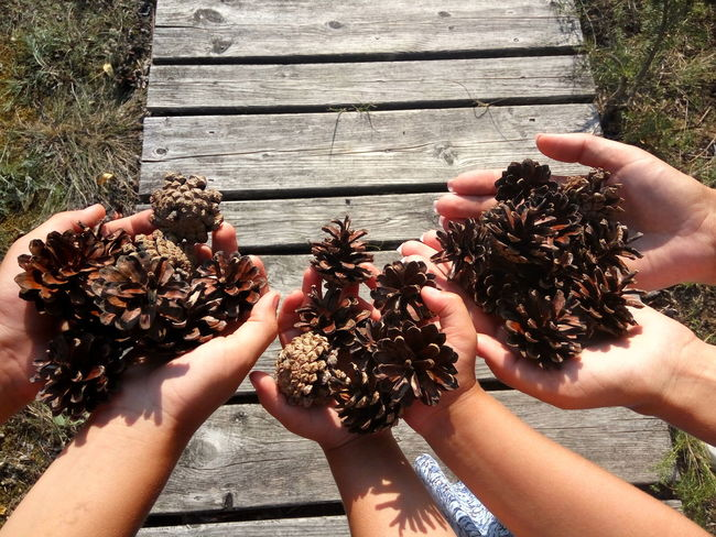 Pinecones in the hands Directly Above Personal Perspective Child Hands Holding Pine Cones Pinecone Pine Cone Family Human Hand Togetherness Holding Close-up