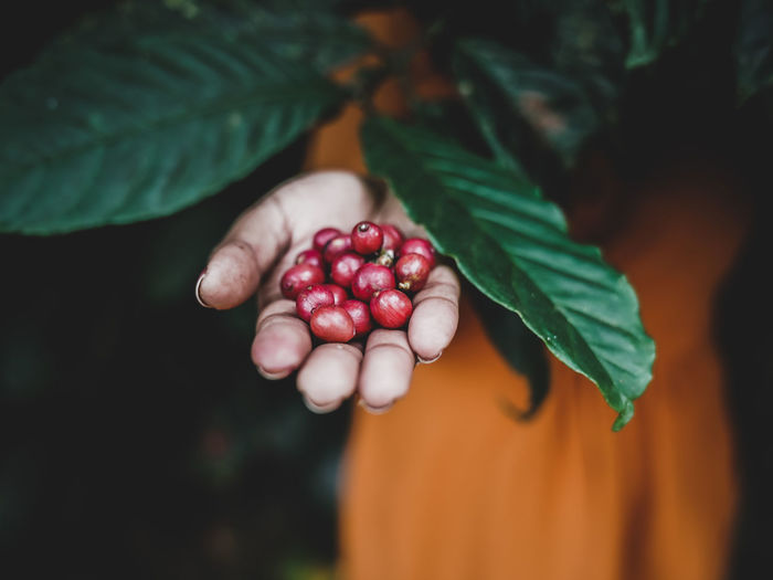 Cropped image of hand holding coffee fruits