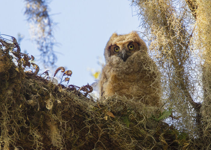 Low angle view of great horned owl in tree against sky