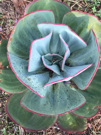 Succulent Plant Plant Cactus Green Color High Angle View Growth Nature No People Day Close-up Outdoors Shape
