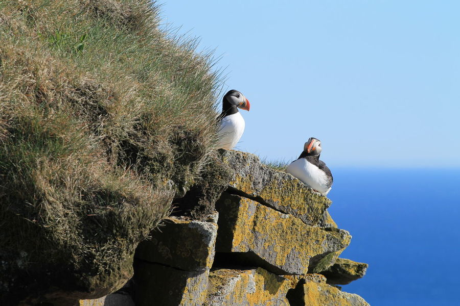 Iceland Puffin Animal Themes Animal Wildlife Animals In The Wild Beauty In Nature Bird Latrabjarg Outdoors
