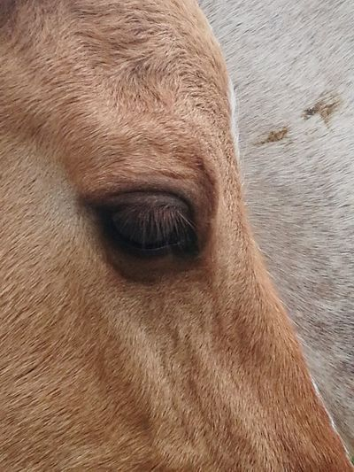 Brown One Animal Animal Close-up Mammal No People Portrait Domestic Animals Animal Themes Day Nature Outdoors Eyelash Brown Eyes Horse Eye Horse