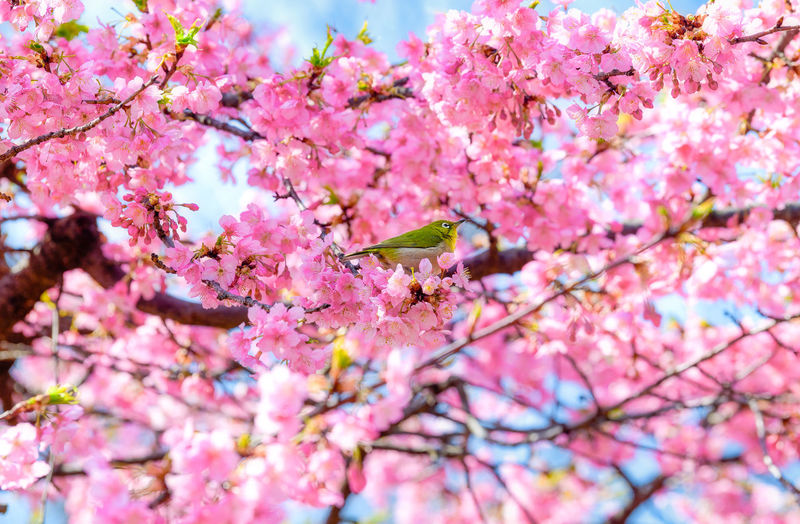 Flower Flowering Plant Plant Tree Pink Color Branch Freshness Beauty In Nature Blossom Growth Springtime Fragility Cherry Blossom Nature Vulnerability  Day Close-up Animal Themes Cherry Tree Flower Head Spring Japan Sakura Bird