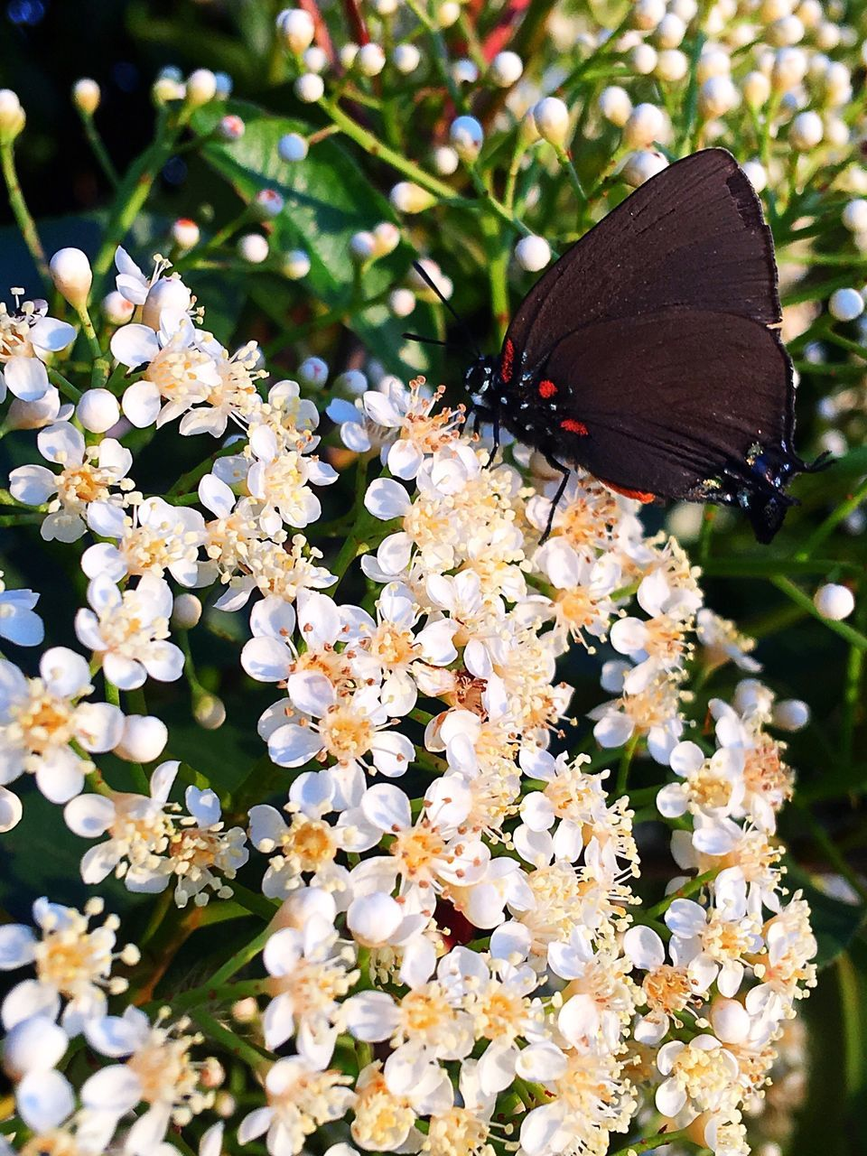one animal, animal themes, animals in the wild, insect, butterfly - insect, nature, fragility, flower, no people, day, beauty in nature, animal wildlife, outdoors, plant, freshness, close-up, growth, pollination, flower head