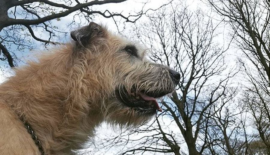 Beauty. Wolfie Wolfhound Smile Smiler ItsFRIDAY  Itsfridayyy Weekend Gameofthrones Housestark Walking Dogwalker Dogsofinstagram Dogs Blondie Curlyhair Curls Picoftheday