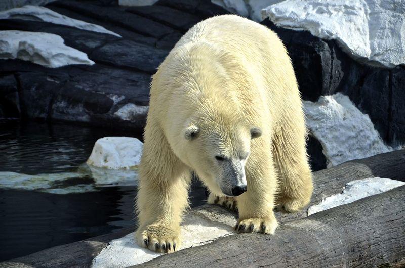 Polar Bear On Log Over River During Winter