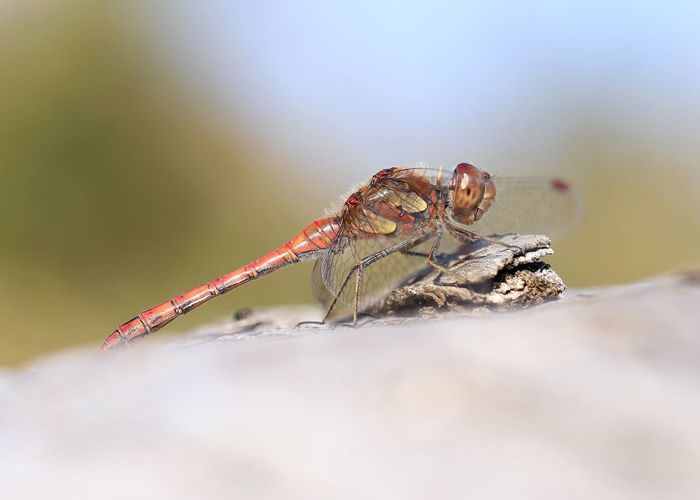 """Dragonfly"" Animals In The Wild One Animal Animal Themes Insect No People Nature Close-up Day Animal Wildlife Outdoors Dragonfly Libelle Sympetrum Insects  Insekten Animals Michael Hruschka Tiere Macro Makro Nature Animals In The Wild Canon Beauty In Nature Macro Photography"