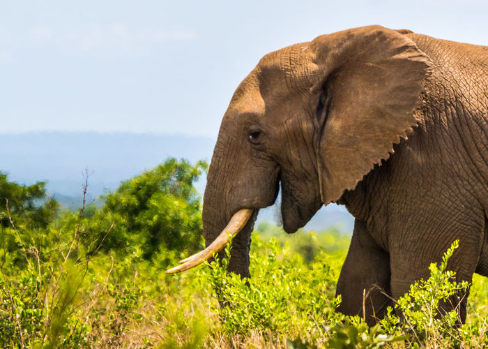 Side view of elephant on landscape against sky