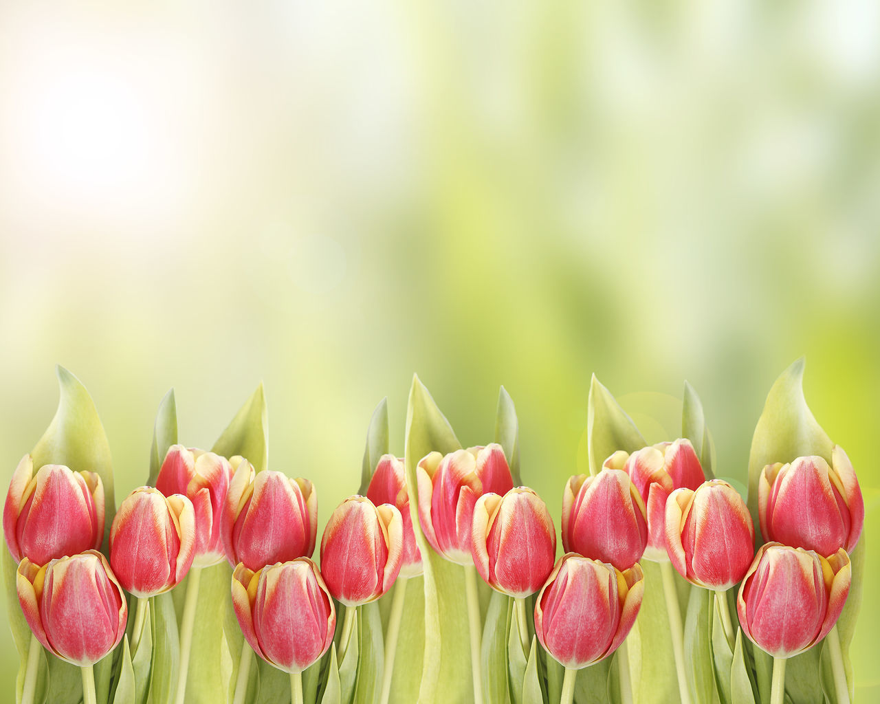 flower, nature, beauty in nature, growth, freshness, fragility, petal, plant, close-up, green color, tulip, no people, focus on foreground, day, outdoors, flower head, blooming