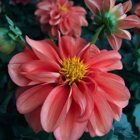 A darling Dahlia 🌺 Flowers,Plants & Garden Flower Head Beauty In Nature Blooming Flower Collection Flower Photography Summer 2017 🏊🌞 Outdoor Photography