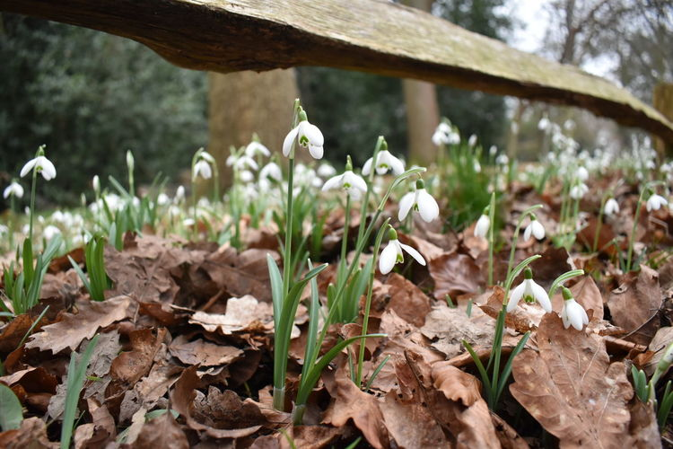 snowdrops Flower Plant Nature Close-up Growth Leaf No People Beauty In Nature Outdoors Fragility Freshness Day Flower Head Soon Be Springtime Whiteflower NikonD5500