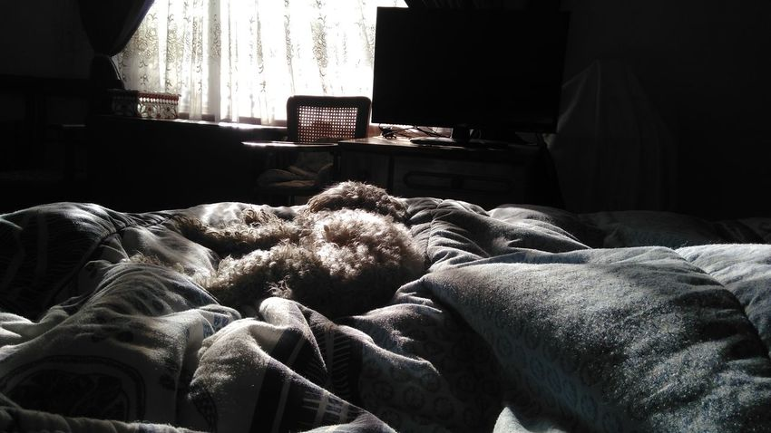 Morning time. Poodle Poodle Love Morning Mornings Dogoftheday Dog Life Bedroom Light Bedroom With Soft Sunlight Bed Morning Rituals Morning Bed Good Life Morning Life French Poodle Sleepy Dog Sleepy Sleeping Dog Companionship Company Companion Dog Sweet Dreams Sweet Moments Pets Pets Corner