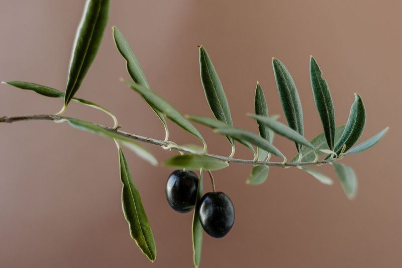 Branch Olive Tree Olive Olives Olive Oil Mediterranean  Healthy Eating Fruit Backgrounds Graphic Design Healthy Food Food Close-up Green Color Growth Plant Leaf Plant Part Nature Freshness Food And Drink Focus On Foreground Plant Stem No People Beauty In Nature