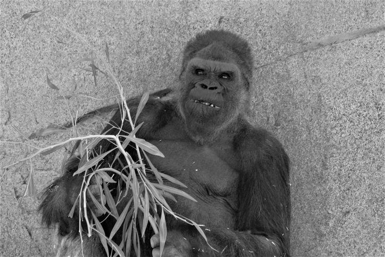 Expressive San Diego Safari Park Bamboo Blackandwhite Photography Gorilla Portrait Silverback Gorilla Surveying