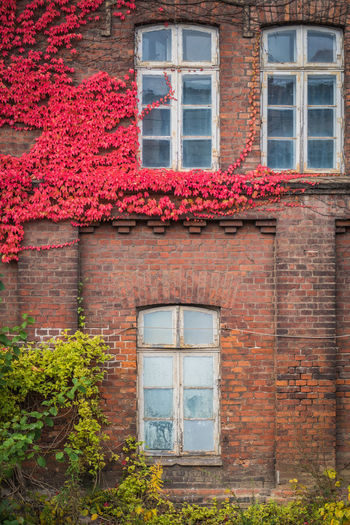 Red ivy on house with white window Window Architecture Built Structure Building Exterior Building No People Plant House Day Brick Outdoors Ivy Red Residential District Old Flowering Plant Wall - Building Feature Wall Flower Nature Window Frame