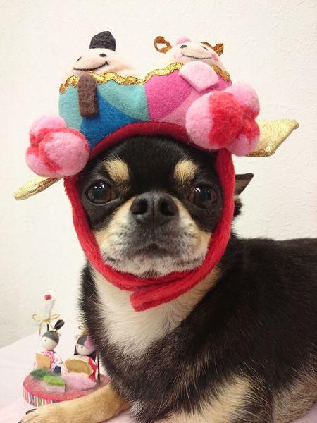 本日は雛祭り♡ ミトは男の子だけど(笑) 雛祭り Chihuahua Dog First Eyeem Photo Mi_trimmer