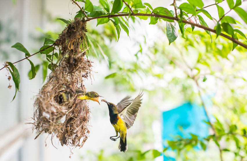 Feeding  Feeding Animals Olive-backed Sunbird Animal Animal Themes Animal Wildlife Animals In The Wild Beauty In Nature Bird Branch Close-up Feeding The Birds Flying Focus On Foreground Growth Mid-air Nature No People One Animal Outdoors Plant Pollination Spread Wings Tree Vertebrate